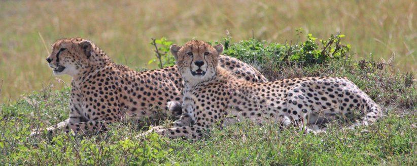 Porini Cheetah Banner E1538643182179
